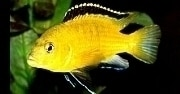 Caring for and Breeding your Electric Yellow Lab Cichlids, Seekyt