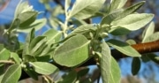 Olive Leaf For Better Health