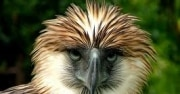 Philippine Eagle Facts