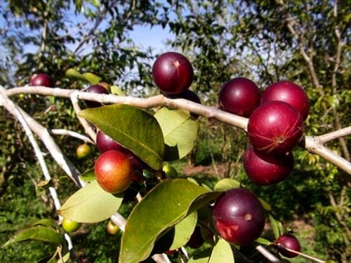 Camu 10 benefits you need to know