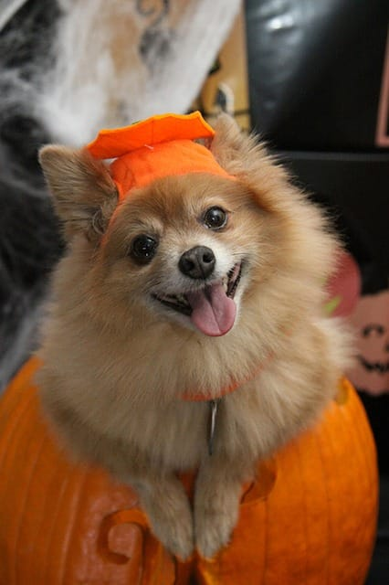 Choosing Right Halloween Costume for Dog